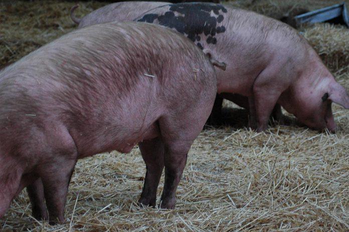 Coronavírus em animais de produção