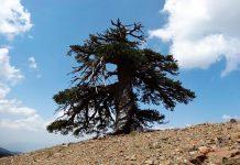 Árvore mais antiga a viver na Europa tem 1075 anos
