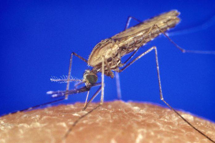Cientista abre novo capítulo no estudo de mosquitos da malária