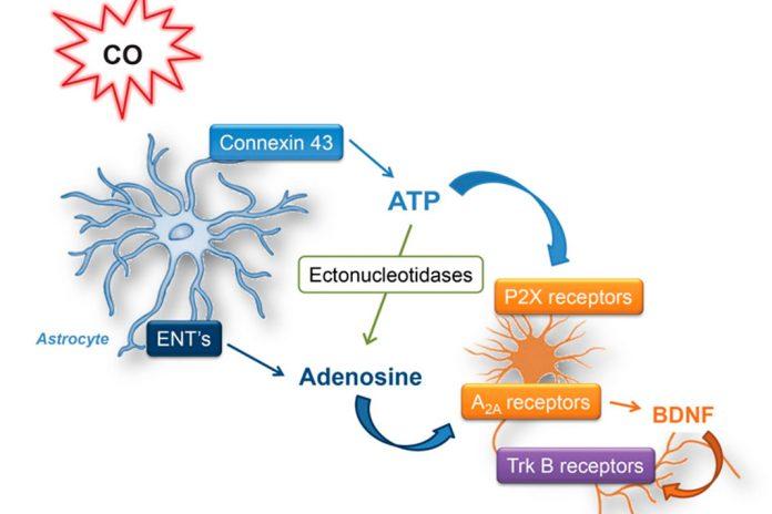 Monóxido de carbono auxilia os astrócitos a proteger os neurónios
