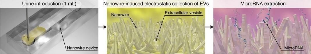 Esquema da extração de microRNA usando nanofios. Após a introdução de uma amostra de urina no dispositivo (esquerda), as vesículas extracelulares são capturadas por um substrato de nanofixo através de forças eletrostáticas (meio). Os MicroRNAs podem então ser extraídos diretamente do substrato (direito).