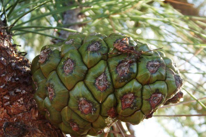 Pinha e inseto sugador de pinhas