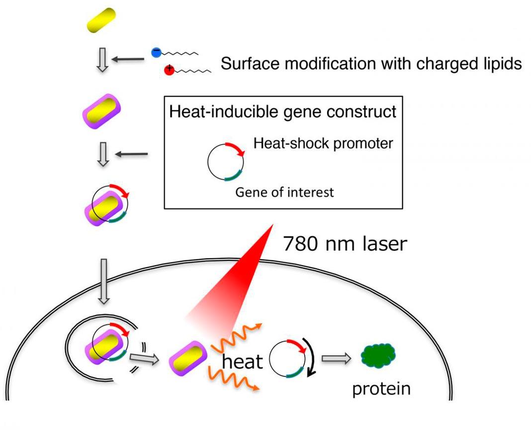 Esta é a entrega e ativação de genes por nanobastões de ouro. Os nanobastões de ouro revestidos com lipídios ligam-se eficientemente ao ADN e penetram nas células. A equipa de cientistas desenvolveu um gene artificial que é ativado pelo calor gerado pelos nanobastões de ouro após a exposição à iluminação de luz próximo do infravermelho.