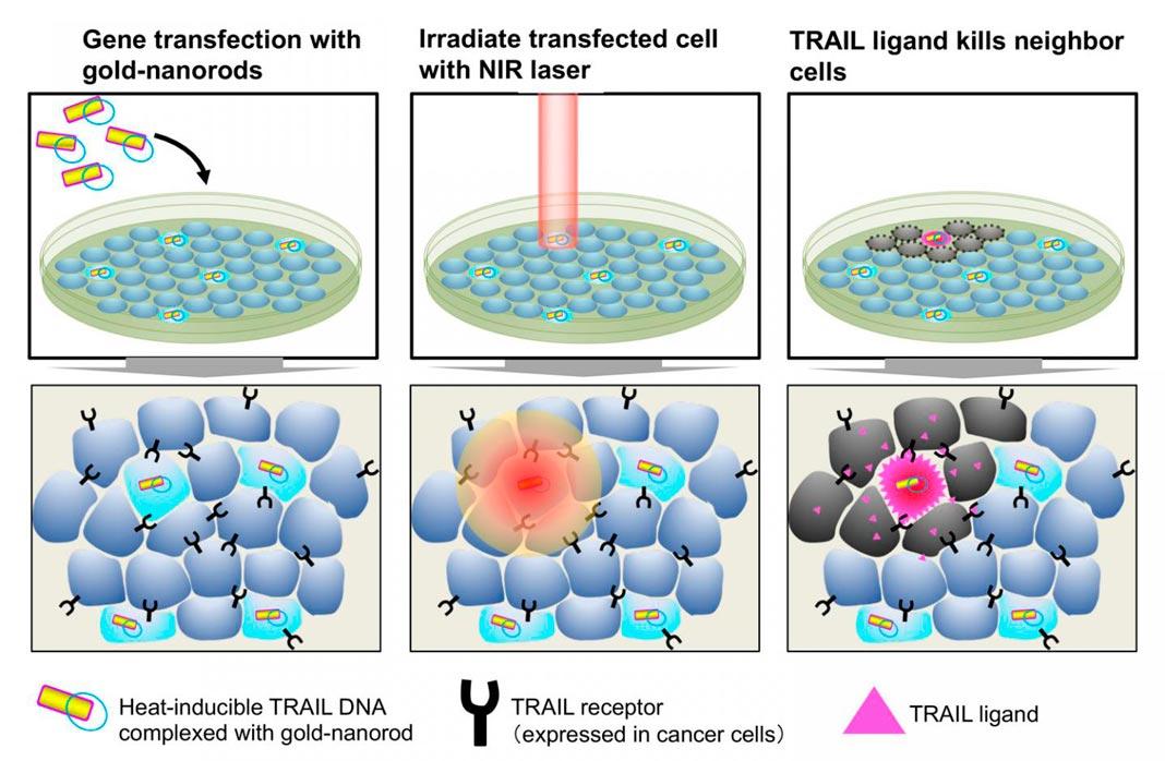Os nanobastões de ouro que transportam o gene TRAIL induzível pelo calor são transfectados para células cancerígenas. As células cancerígenas expressam recetores TRAIL enquanto as células normais não. A iluminação por um laser próximo do infravermelho aquece nanobastões de ouro e induz a expressão TRAIL em células transfectadas. TRAIL, em seguida, mata as células cancerígenas circundantes.