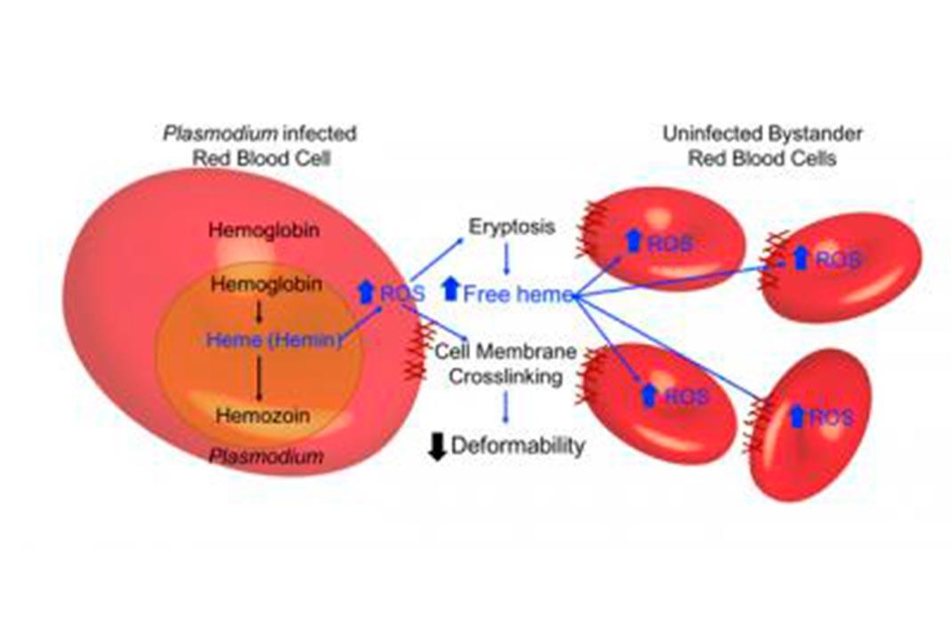 Os glóbulos vermelhos tornam-se menos deformáveis à medida que sofrem stress oxidativo induzido por heme causado por parasitas da malária