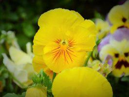Viola × wittrockiana, Amor-perfeito, jardim cidade de Braga