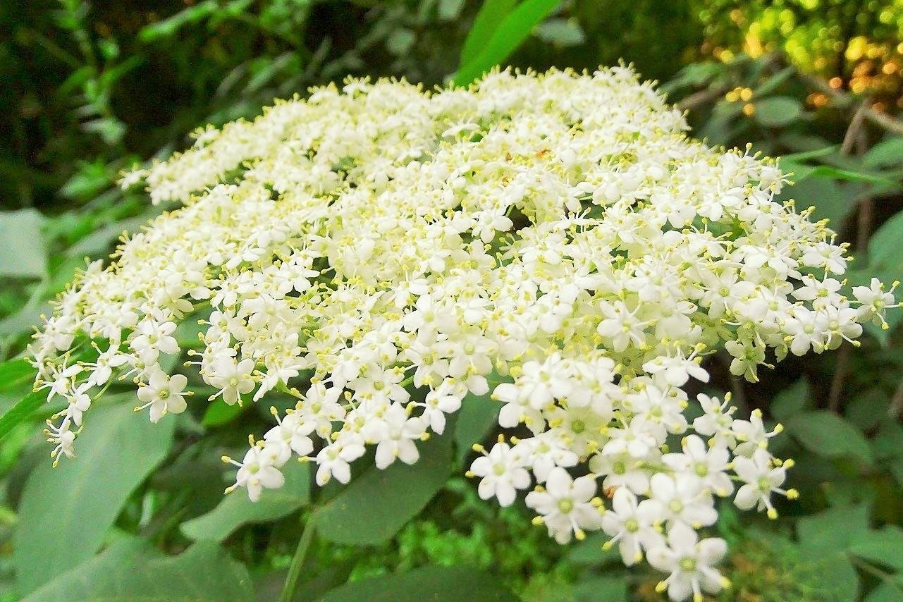 Produtos alimentares de sabugueiro a partir de Tarouca. Flores de sabugueiro