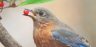 Luzes das cidades são armadilhas para aves migratórias