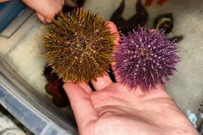 Ouriço-do-mar e gestão de recursos marinhos na Ericeira