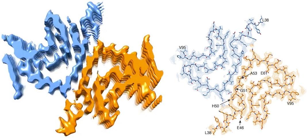 Seção transversal de uma fibrila alfa-sinucleína. À esquerda: reconstrução 3D da fibrila, mostra duas moléculas de proteína interagindo. Direita: modelo atómico da estrutura da fibrila.