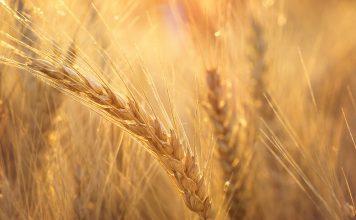 Sequenciação do genoma do trigo já concluída