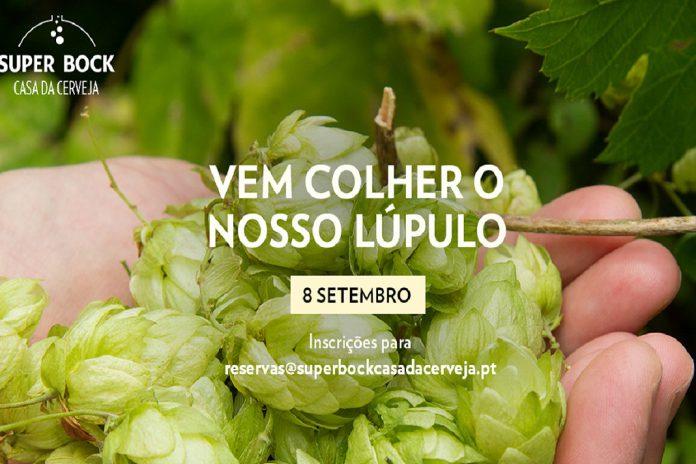Colheita do lúpulo em Bragança