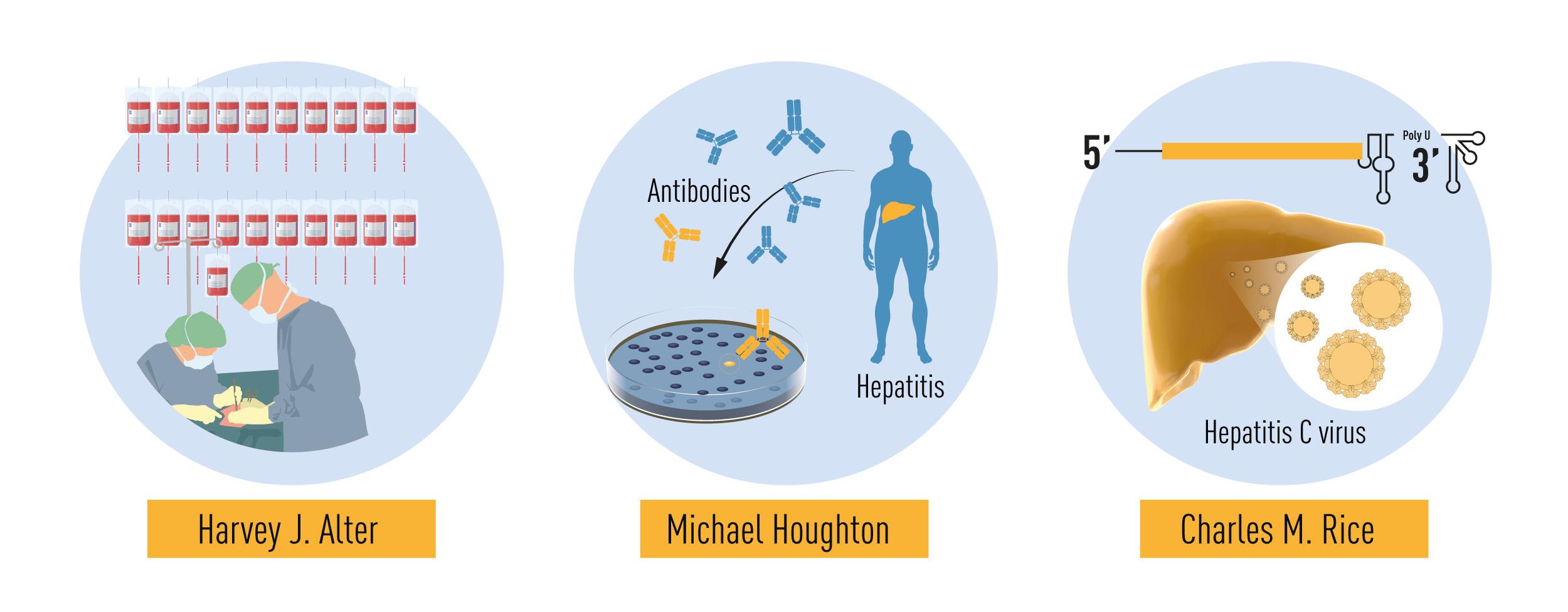Resumo das descobertas concedidas pelo prémio Nobel deste ano. Os estudos metódicos de hepatite associada à transfusão por Harvey J. Alter demonstraram que um vírus desconhecido era uma causa comum de hepatite crónica. Michael Houghton usou uma estratégia não testada para isolar o genoma do novo vírus, o vírus da hepatite C. Charles M. Rice forneceu a evidência final mostrando que o vírus da Hepatite C sozinho pode causar hepatite.(imagem: )