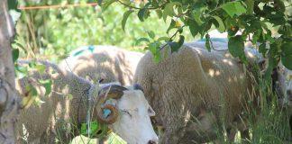 Coleiras 'ensinam' cabras e ovelhas a comer apenas erva nas vinhas e pomares