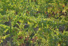 Seguro vitícola de colheitas alargado aos Açores e Madeira