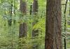 Abeto de Douglas pode ser uma opção florestal para a Europa