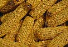Comissão Europeia autoriza dez produtos geneticamente modificados