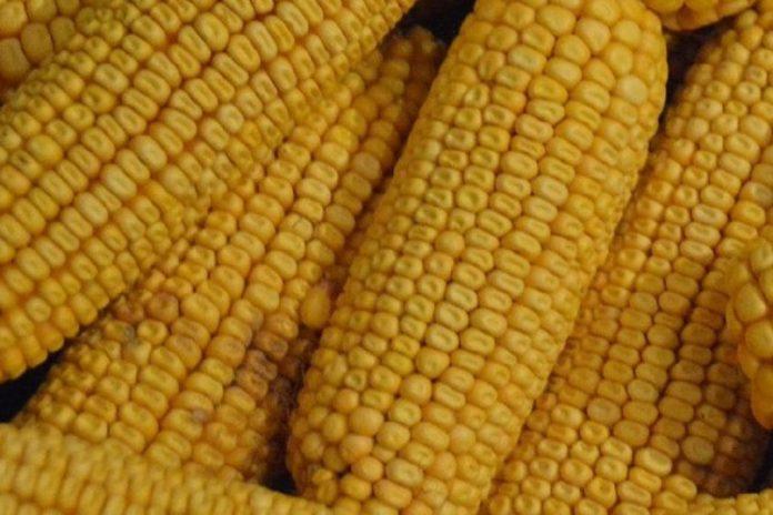 Comissão Europeia autoriza novos OGM para consumo humano e animal