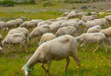 Pastoreio em áreas de pousio em tempo pandemia COVID-19
