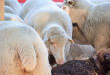 Fundo de Apoio ao Setor da Lã passa para gestão da ACOS-Agricultores do Sul