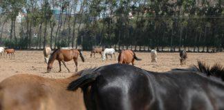Exportação de cavalos portugueses para a Arábia Saudita