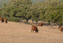 Exportações de carne de bovino da UE para a Coreia foi retomada