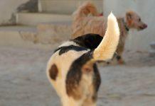 Cães podem estar na origem da pandemia de COVID-19