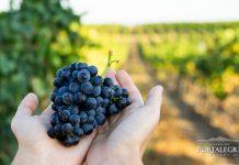 Vindimas na Adega de Portalegre indicam vinhos com maior qualidade