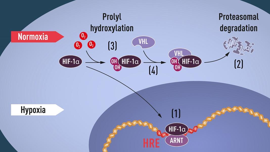 Figura 1. Quando os níveis de oxigénio são baixos (hipoxia), o HIF-1α é protegido da degradação e acumula-se no núcleo, onde se associa ao ARNT e liga-se a sequências específicas de ADN (HRE) em genes regulados pela hipoxia (1). Em níveis normais de oxigénio, o HIF-1α é rapidamente degradado pelo proteassoma (2). O oxigênio regula o processo de degradação pela adição de grupos hidroxila (OH) ao HIF-1a (3). A proteína VHL pode então reconhecer e formar um complexo com HIF-1α levando à sua degradação de maneira dependente de oxigénio (4).