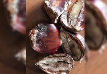 Nova doença da castanha é grave, alerta investigador da UTAD