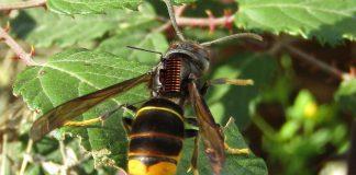 Vespa velutina ameaça apicultura e desafia investigadores da UTAD