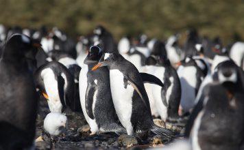 Pinguins na Antártida já sofrem da poluição por microplásticos