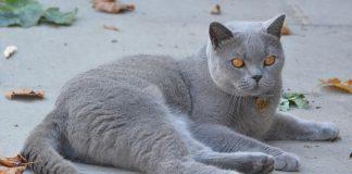 Gatos podem ser infetados com novo coronavírus e transmitir a outros gatos