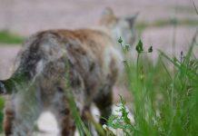 Gatos lutam contra a COVID-19 com anticorpos desenvolvidos naturalmente