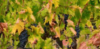 Setor vitivinícola com medidas excecionais de apoio da UE devido à COVID-19