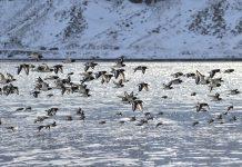 Ártico: Animais alteram comportamentos em resposta às alterações climáticas