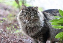 Há transmissão de coronavírus da COVID-19 de pessoas para gatos!