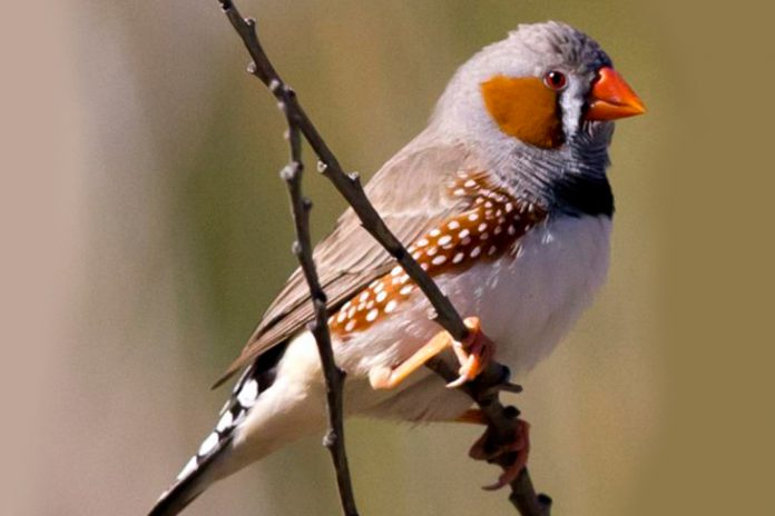 Pássaros canoros podem controlar fibras musculares vocais individuais ao cantar