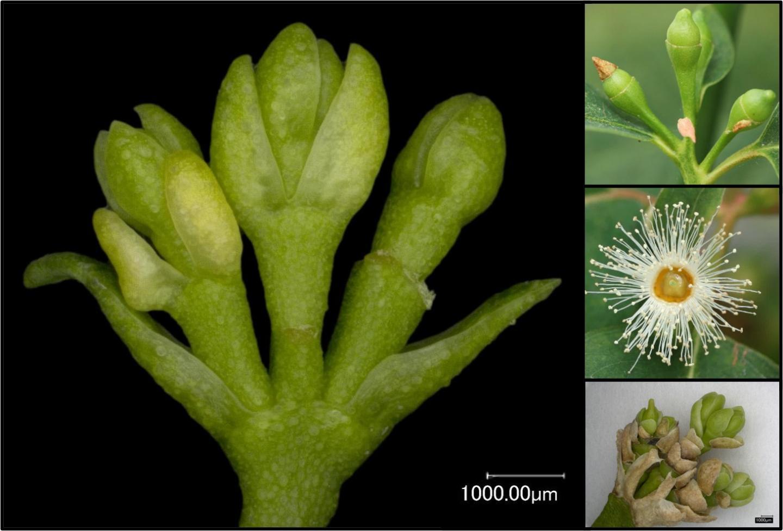 Imagem de um conjunto modificado de botões florais de eucalipto que não se desenvolvem para tornar viável pólen ou sementes (imagem principal e inferior direita), em comparação com botões de flores de tipo selvagem (canto superior direito) e flor aberta (centro direito).