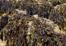 Algas Castanhas
